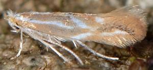 Phyllonorycter corylifoliella 4