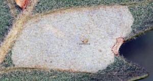 Phyllonorycter delitella m 1