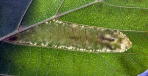 Phyllonorycter froelichiella m 2