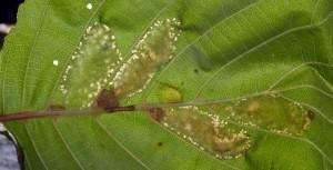 Phyllonorycter froelichiella m 4