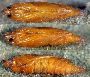 Phyllonorycter froelichiella p