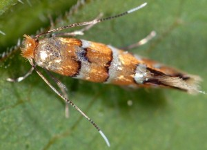 Phyllonorycter klemannella 3