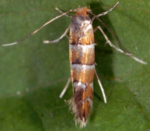 Phyllonorycter klemannella 6