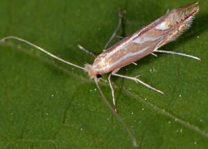 Phyllonorycter lapadiella 4