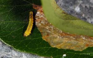 Phyllonorycter leucographella L5 1
