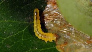 Phyllonorycter leucographella L5 2