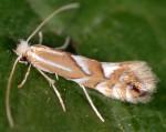 Phyllonorycter maestingella (I)