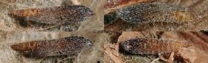 Phyllonorycter platani chrysalide 36 1