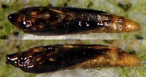 Phyllonorycter robiniella p