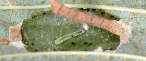 Phyllonorycter strigulatella L5 1