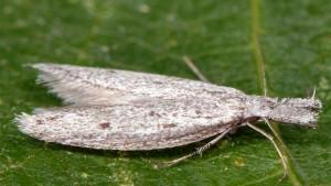 Pleurota gallicella 66 4
