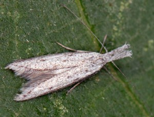 Pleurota gallicella 66 5