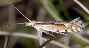 Plutella geniatella 05