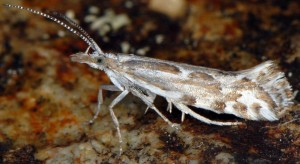 Plutella geniatella 06