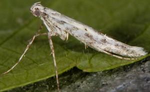 Povolnya leucapennella 1