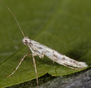 Povolnya leucapennella 2