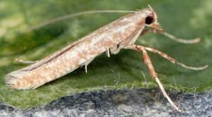 Povolnya leucapennella 3
