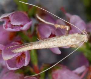 Povolnya leucapennella 5