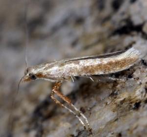 Povolnya leucapennella 6