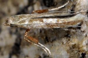 Povolnya leucapennella 7