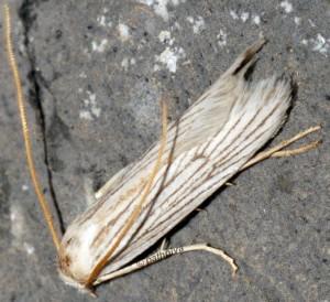 Pterolonche albescens 2