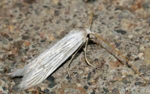 Pterolonche albescens 3