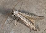 Pterolonche inspersa (I, G)