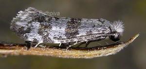Scythropia crataegella (Linnaeus, 1767)