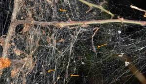 Scythropia crataegella p 1