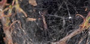 Scythropia crataegella p 2