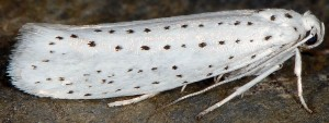 Yponomeuta evonymella 1