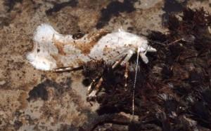 Ypsolopha asperella 4