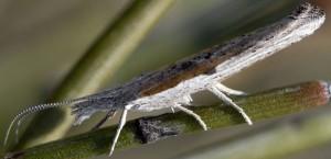 Ypsolopha divisella 3