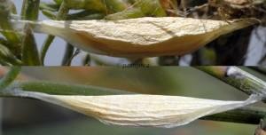 Ypsolopha divisella c