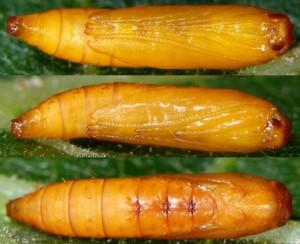 Ypsolopha divisella p