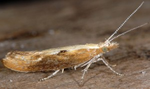 Ypsolopha falcella 1