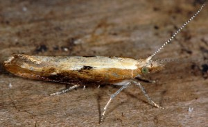 Ypsolopha falcella 2