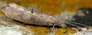 Ypsolopha horridella 06 2