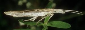 Ypsolopha mucronella 1