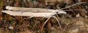 Ypsolopha mucronella 3