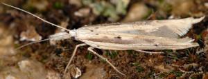 Ypsolopha mucronella 4