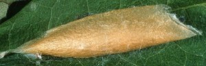 Ypsolopha mucronella c