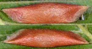 Ypsolopha parenthesella c
