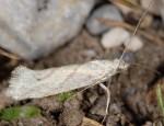 Ypsolopha persicella (I)