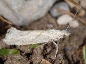 Ypsolopha persicella 2