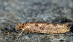 Ypsolopha ustella (I, L5, C)