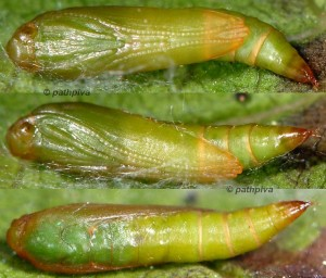 Zelleria hepariella p