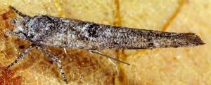 Zelleria oleastrella 1