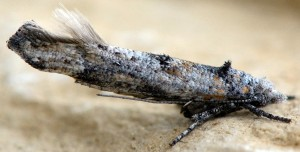 Zelleria oleastrella 5