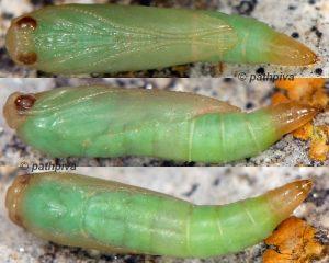 Zelleria oleastrella chrysalide 13 1